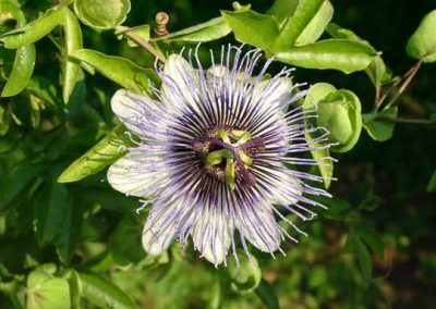 Passiflora Debby