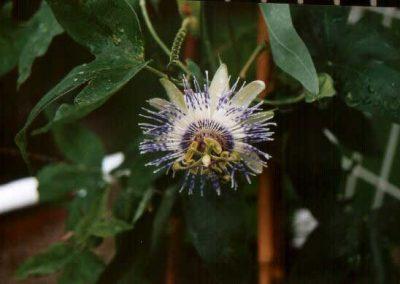 Passiflora Eyleen
