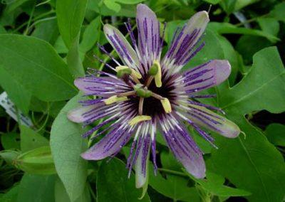 Passiflora Tereza