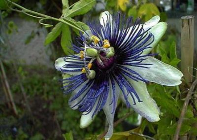 Passiflora Vlasta