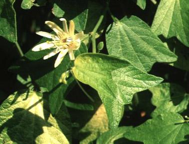 Passiflora Zlata