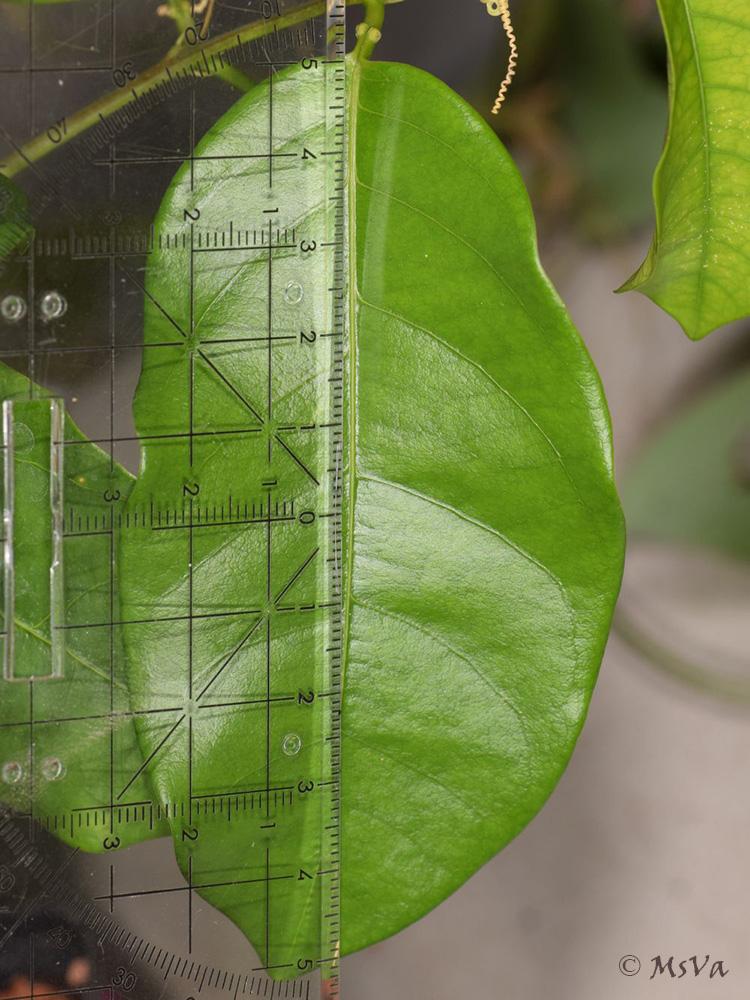 Passiflora venusta 8