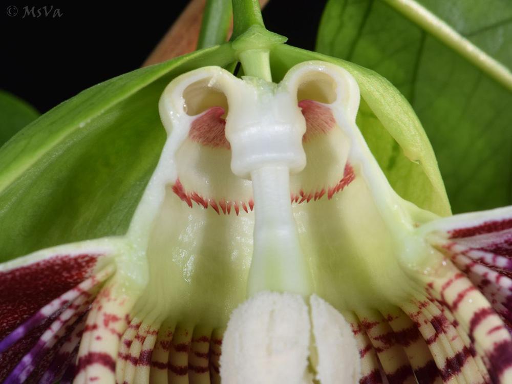 Passiflora venusta 3