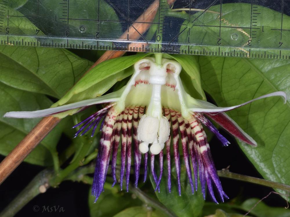 Passiflora venusta 6