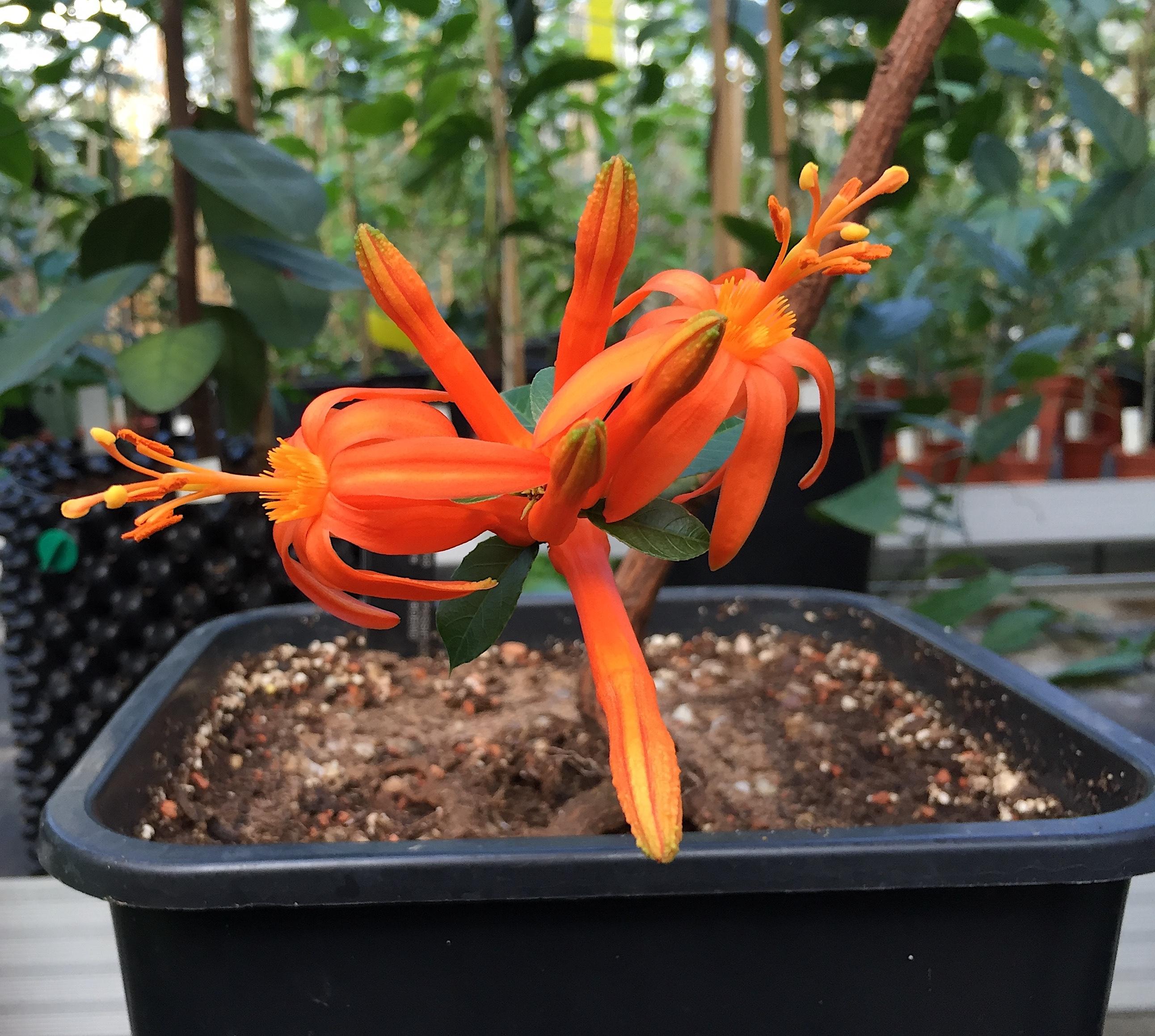 Passiflora rusbyi