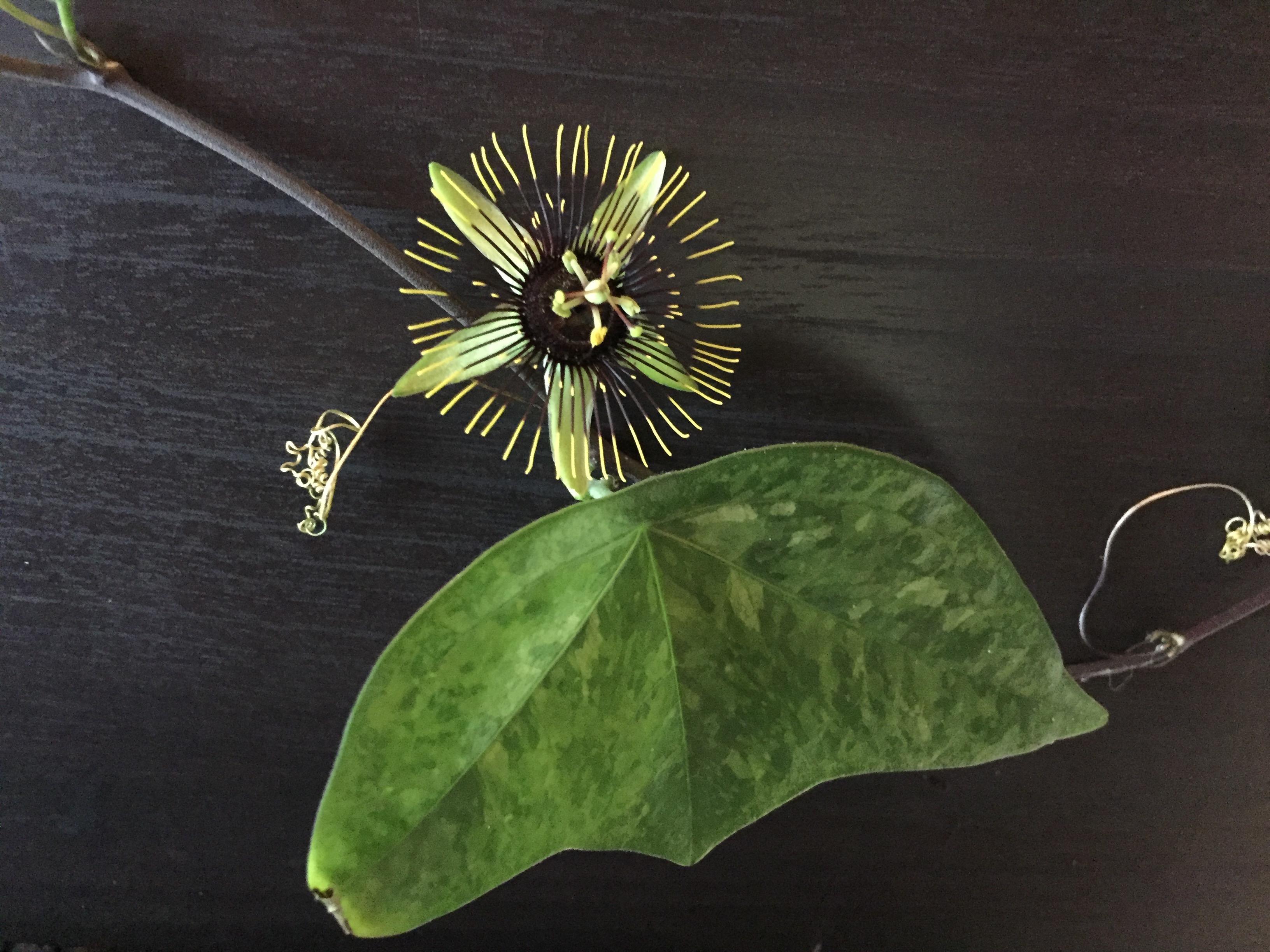 Passiflora Manta
