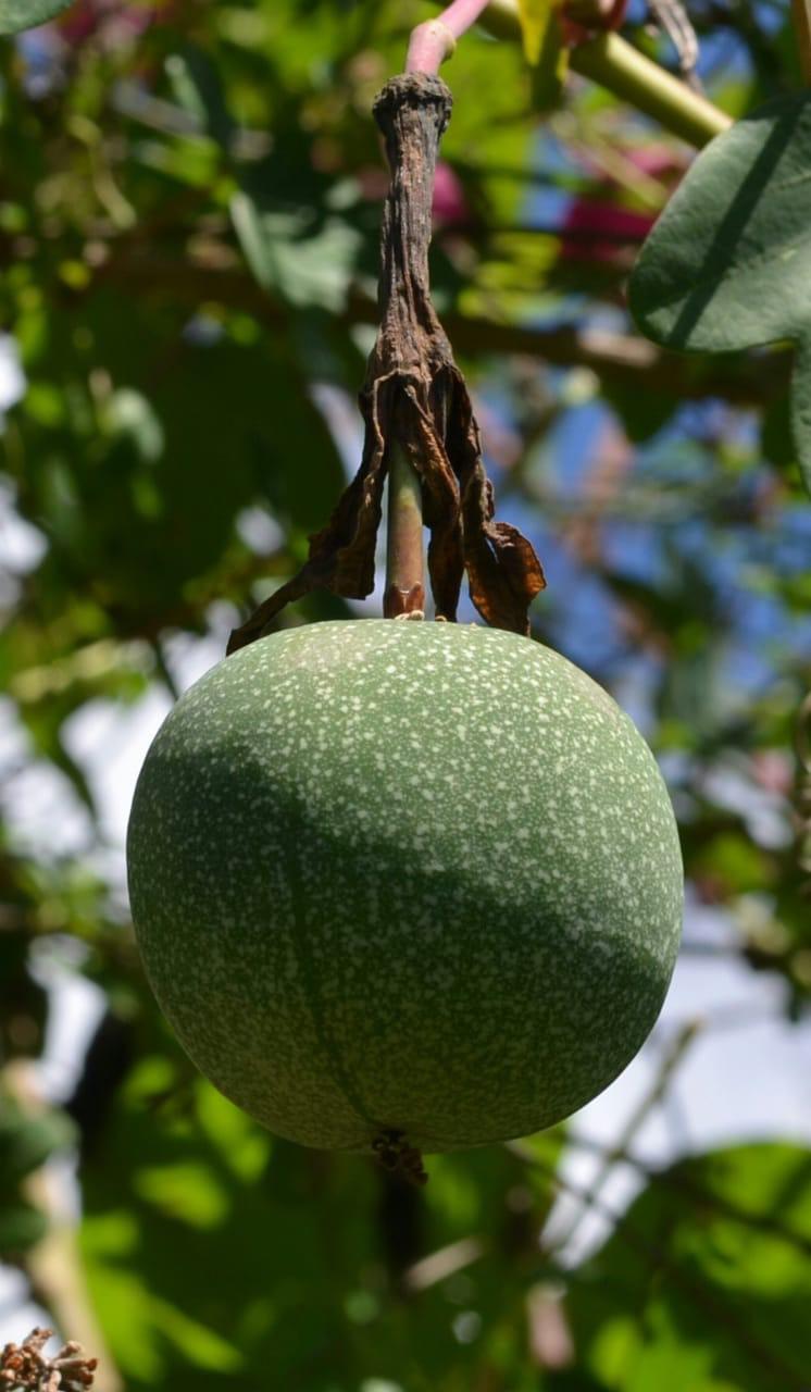 Passiflora umbilicata fruit close up