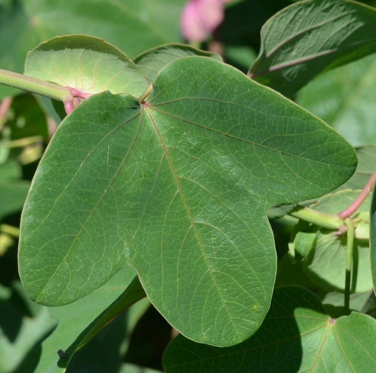 Passiflora umbilicata leaf