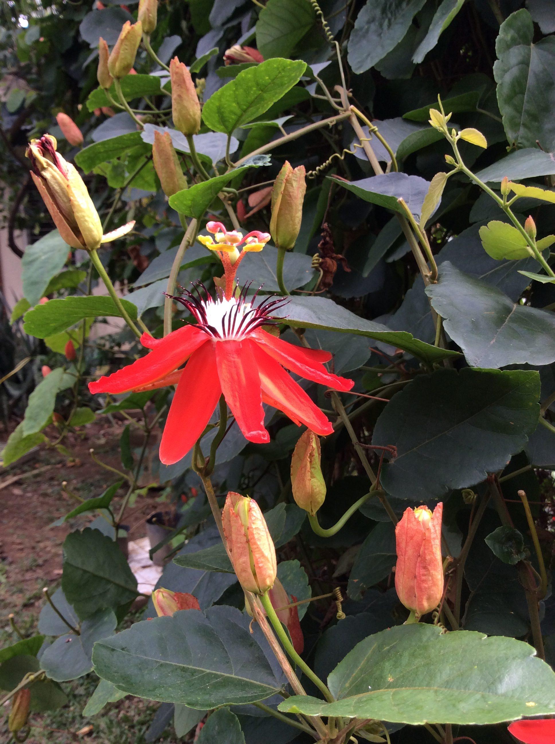 Passiflora miniata 3