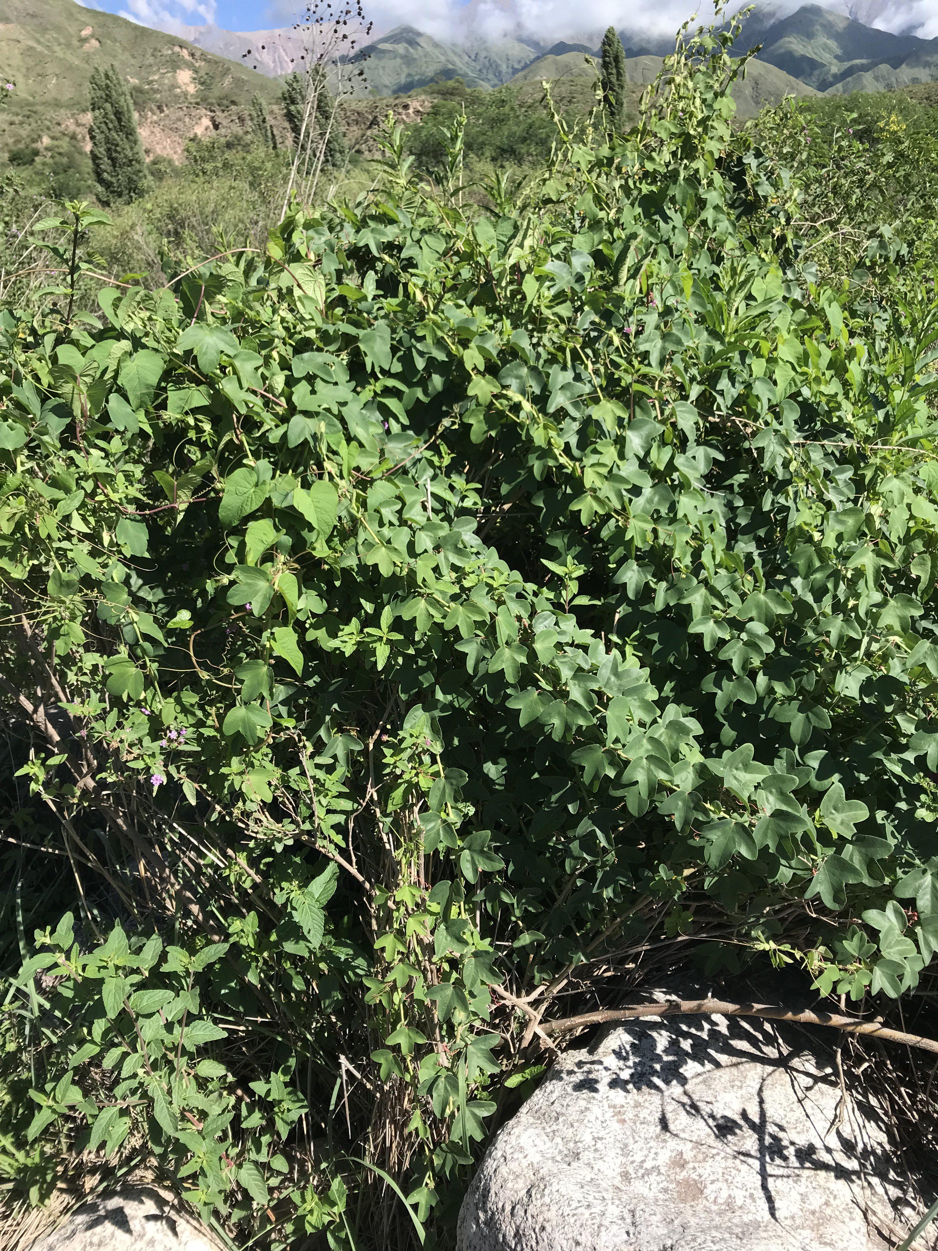Passiflora umbilicata foliage and mountain view