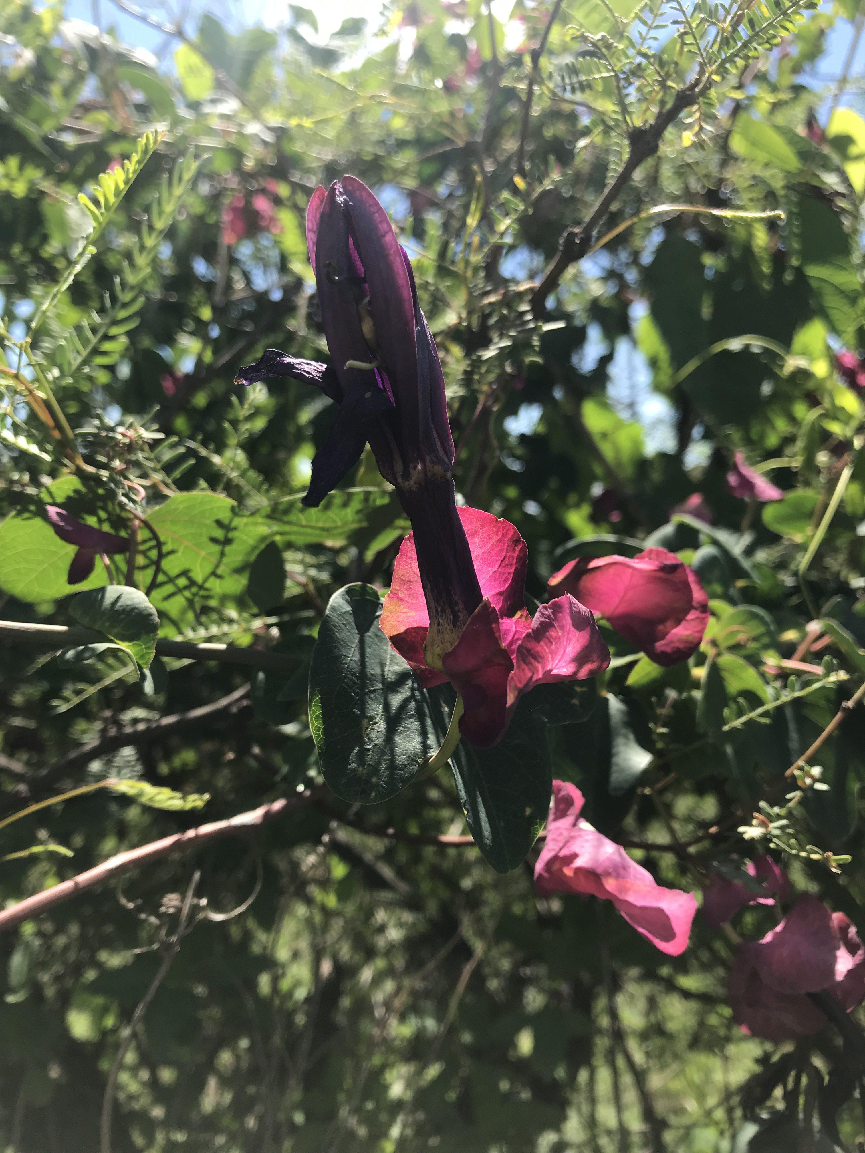 Passiflora umbilicata bud