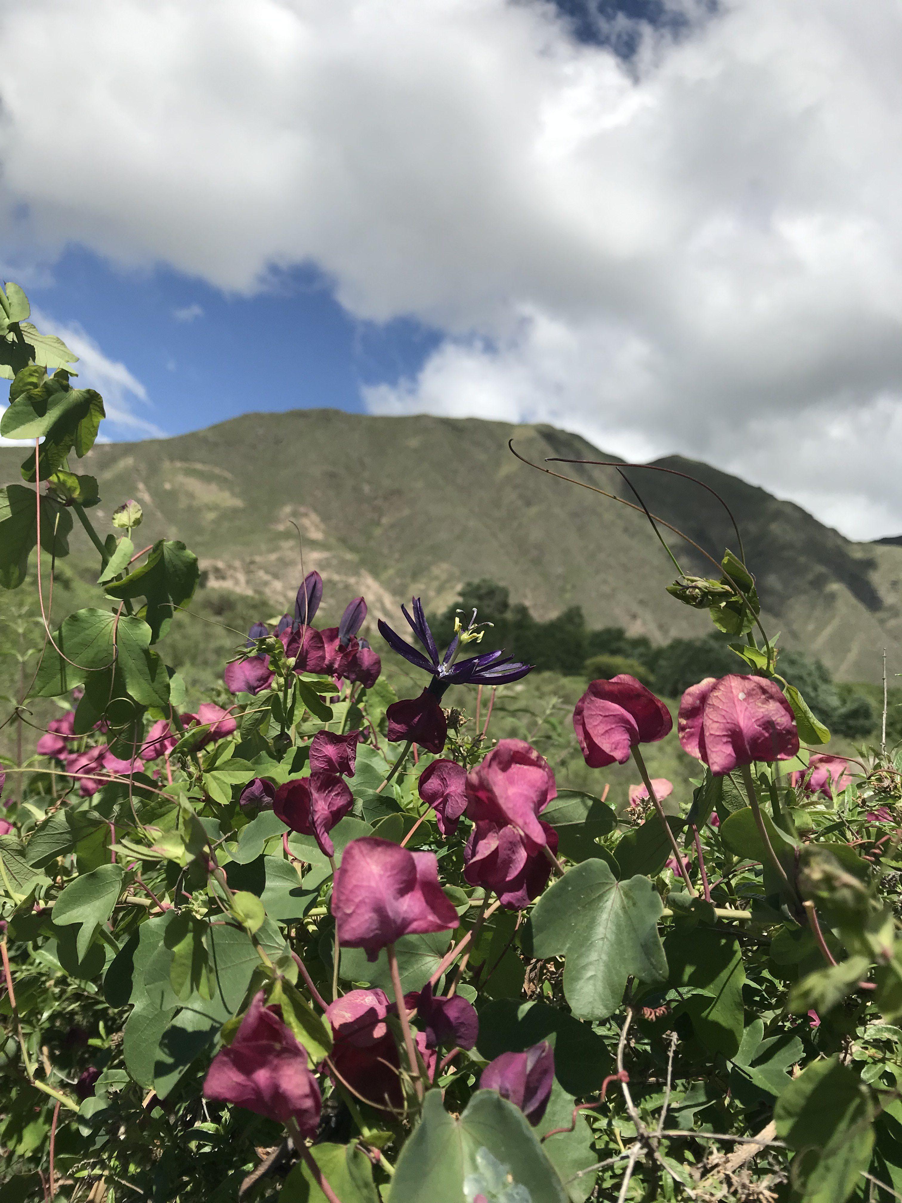 Passiflora umbilicata view