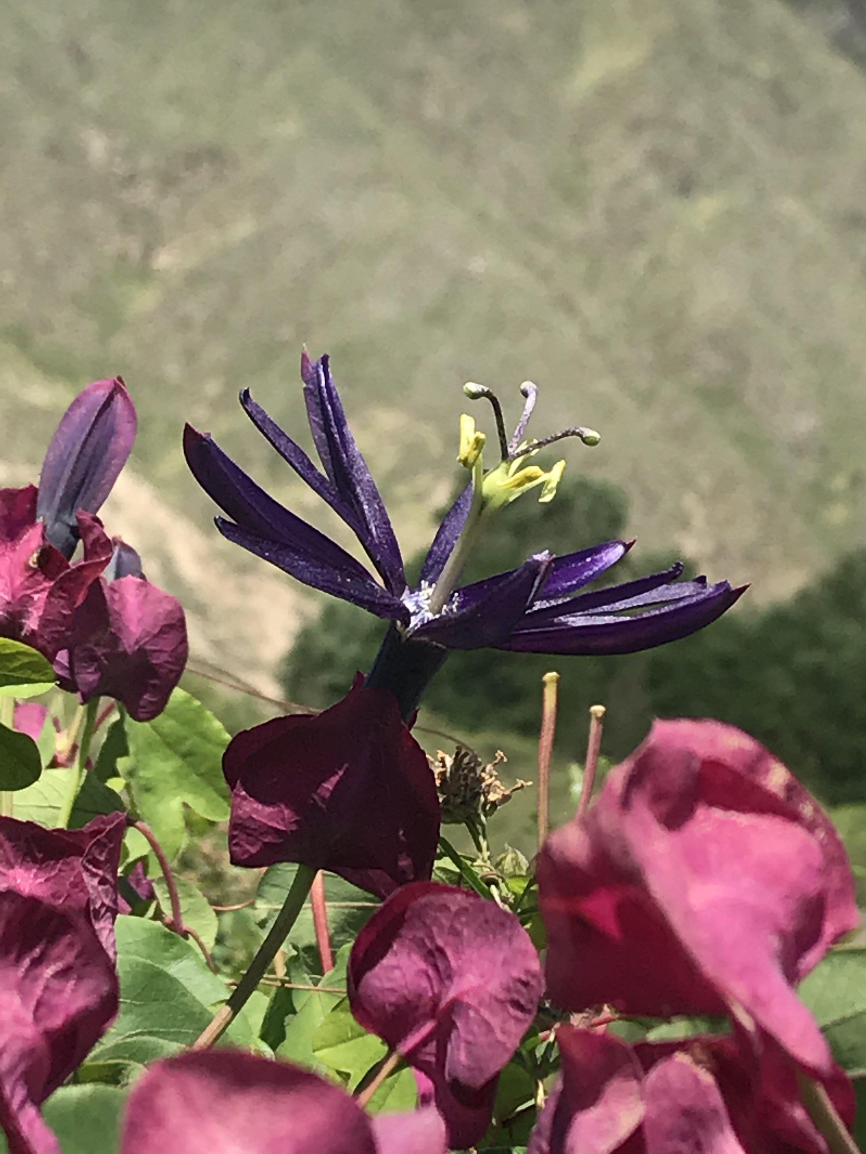 Passiflora umbilicata flower
