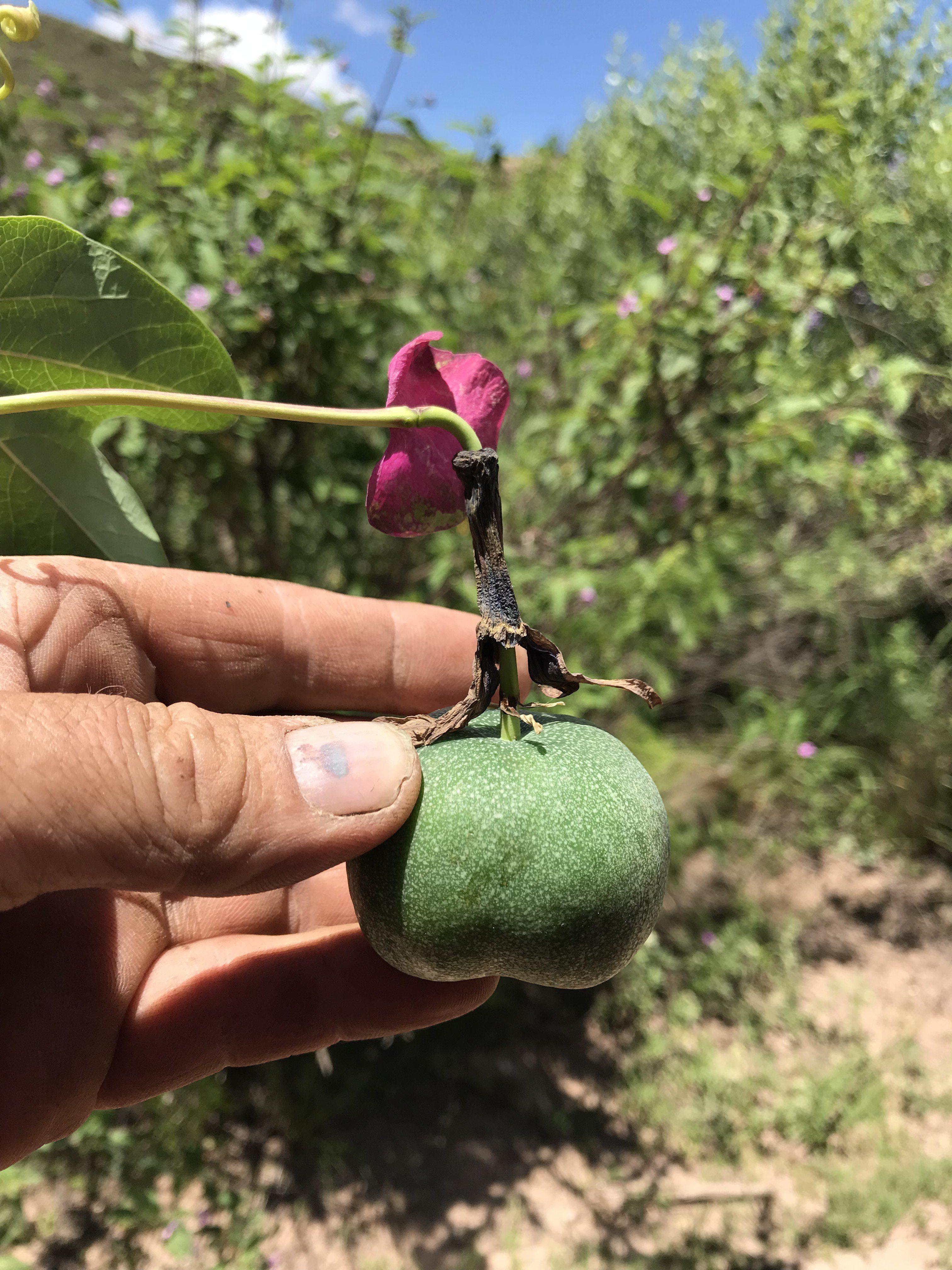 Passiflora umbilicata fruit