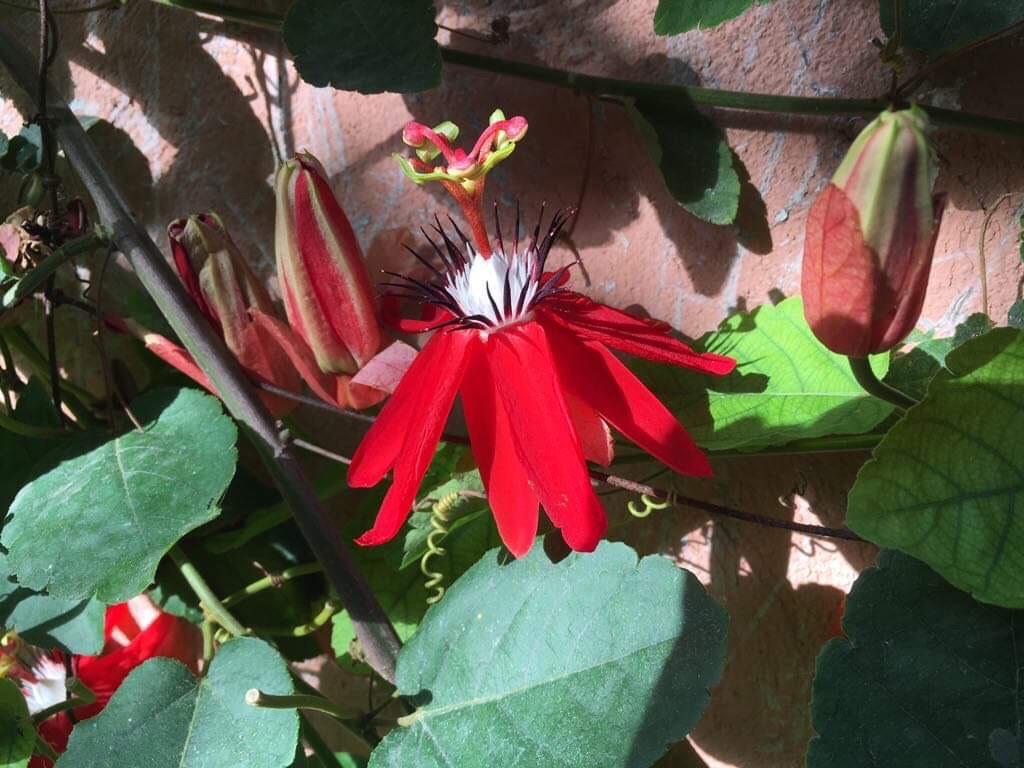 Passiflora miniata 4
