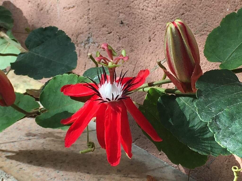 Passiflora miniata 2