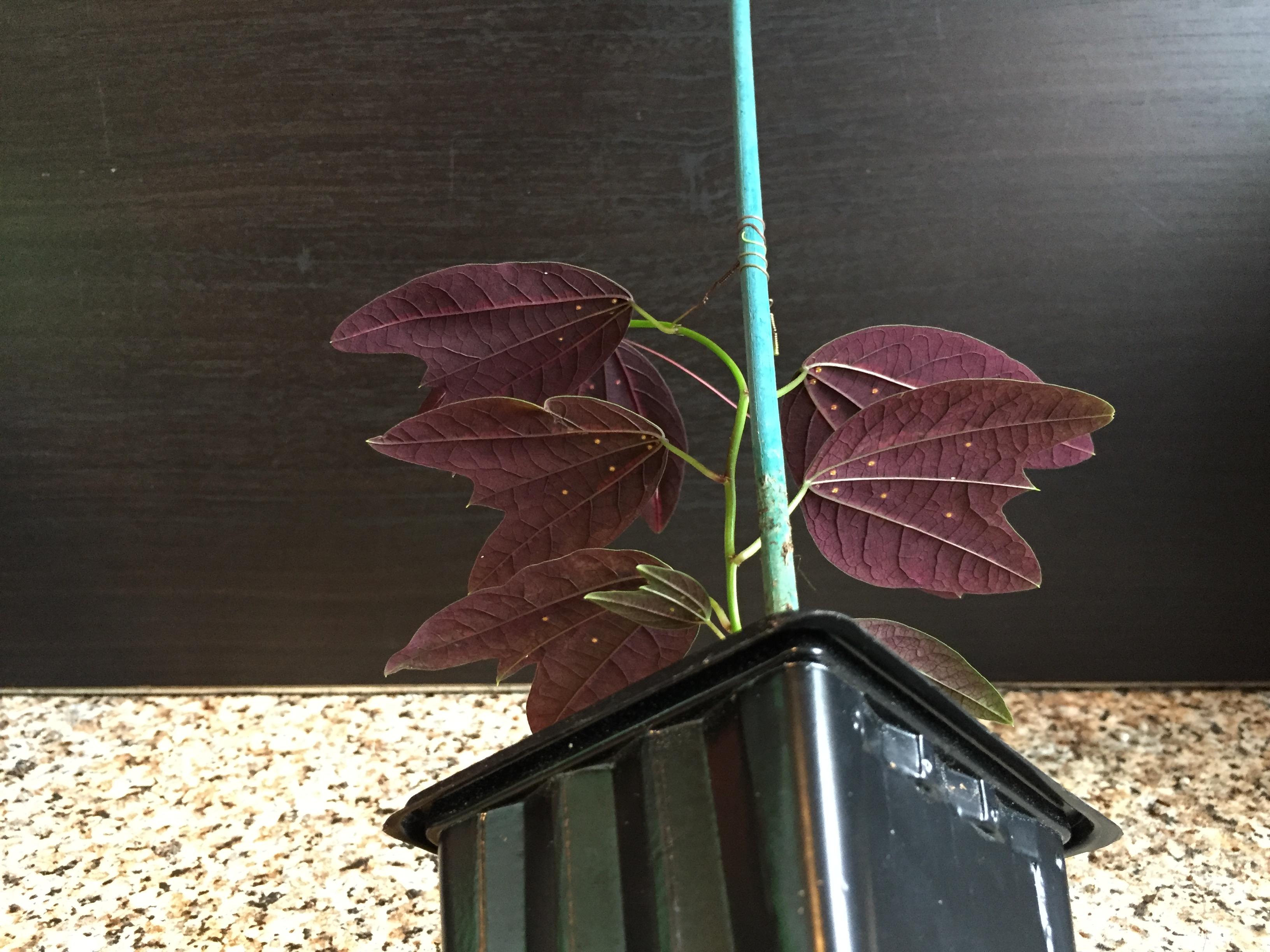 Passiflora boenderi from underneath