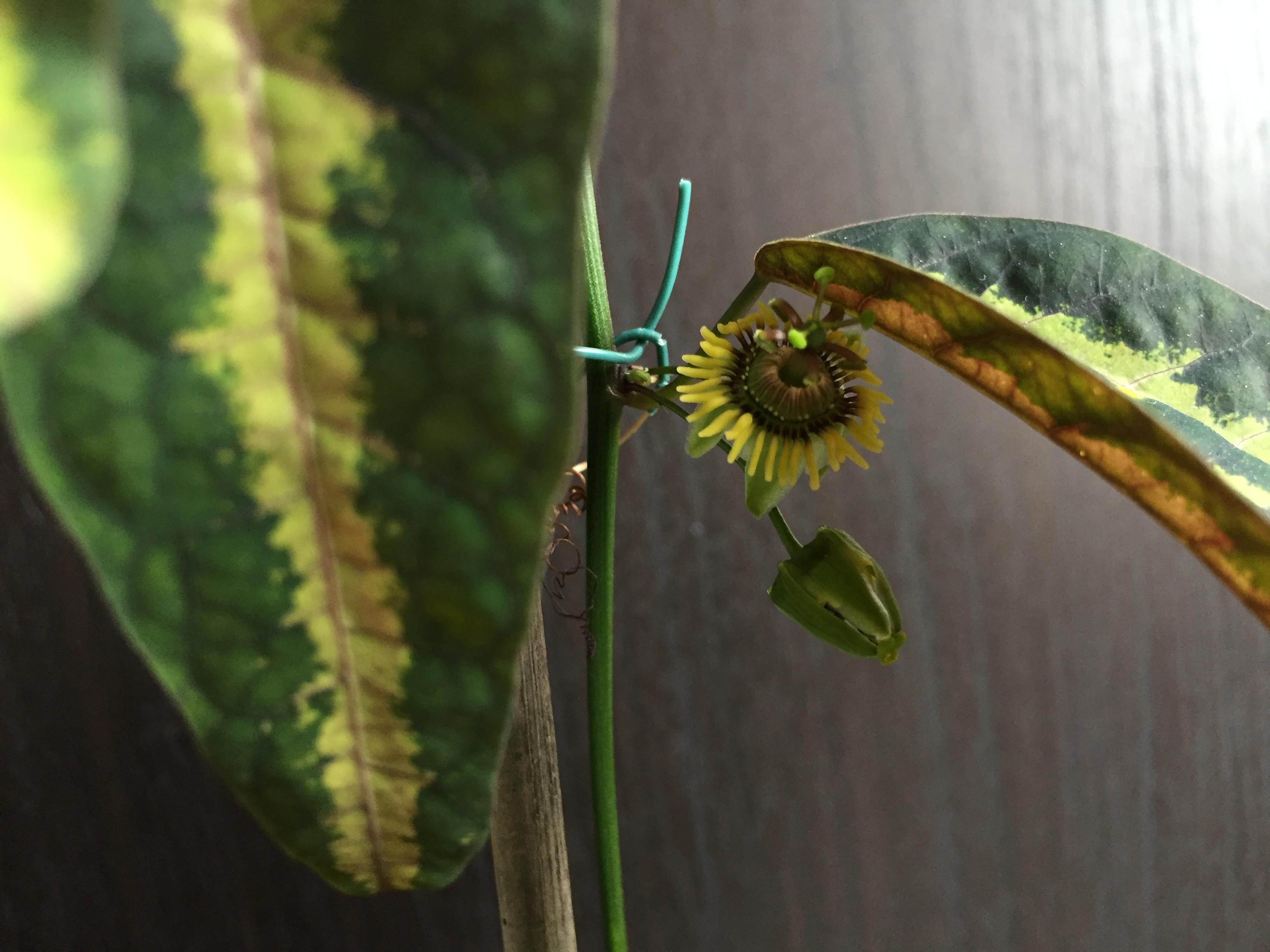Passiflora boenderi flower 1