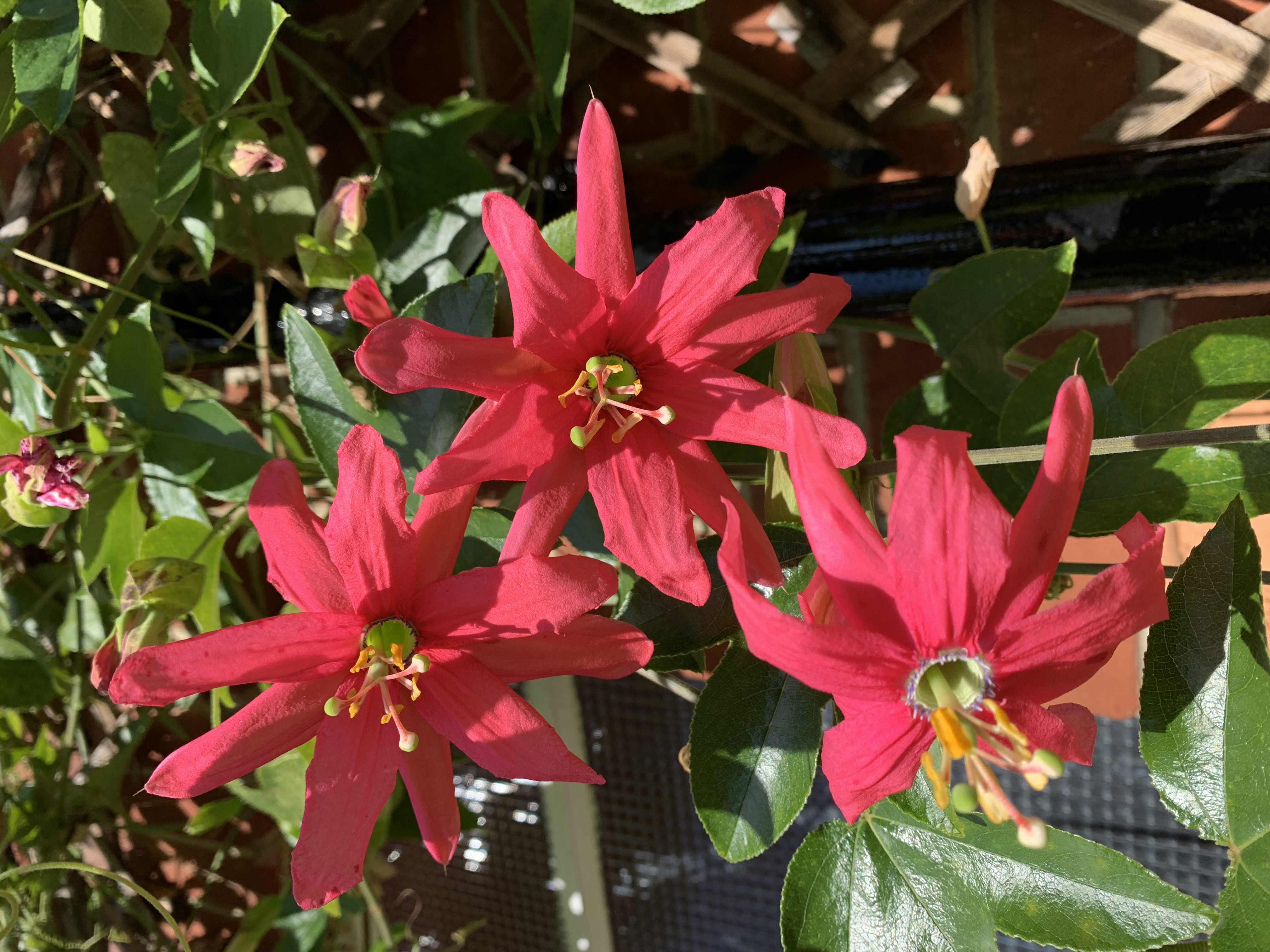 Passiflora Coral Glow flowers