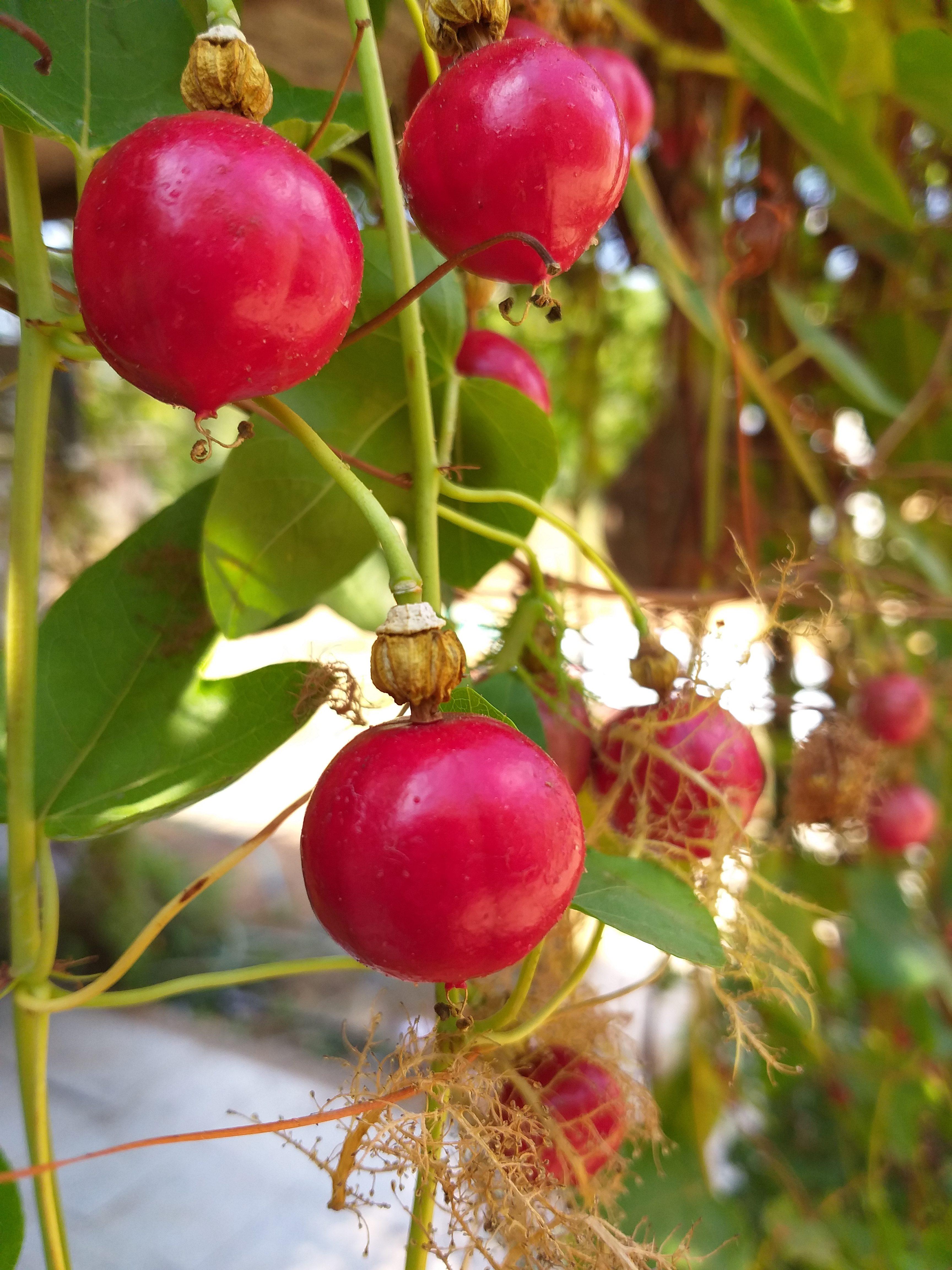 Passiflora ciliata fruit