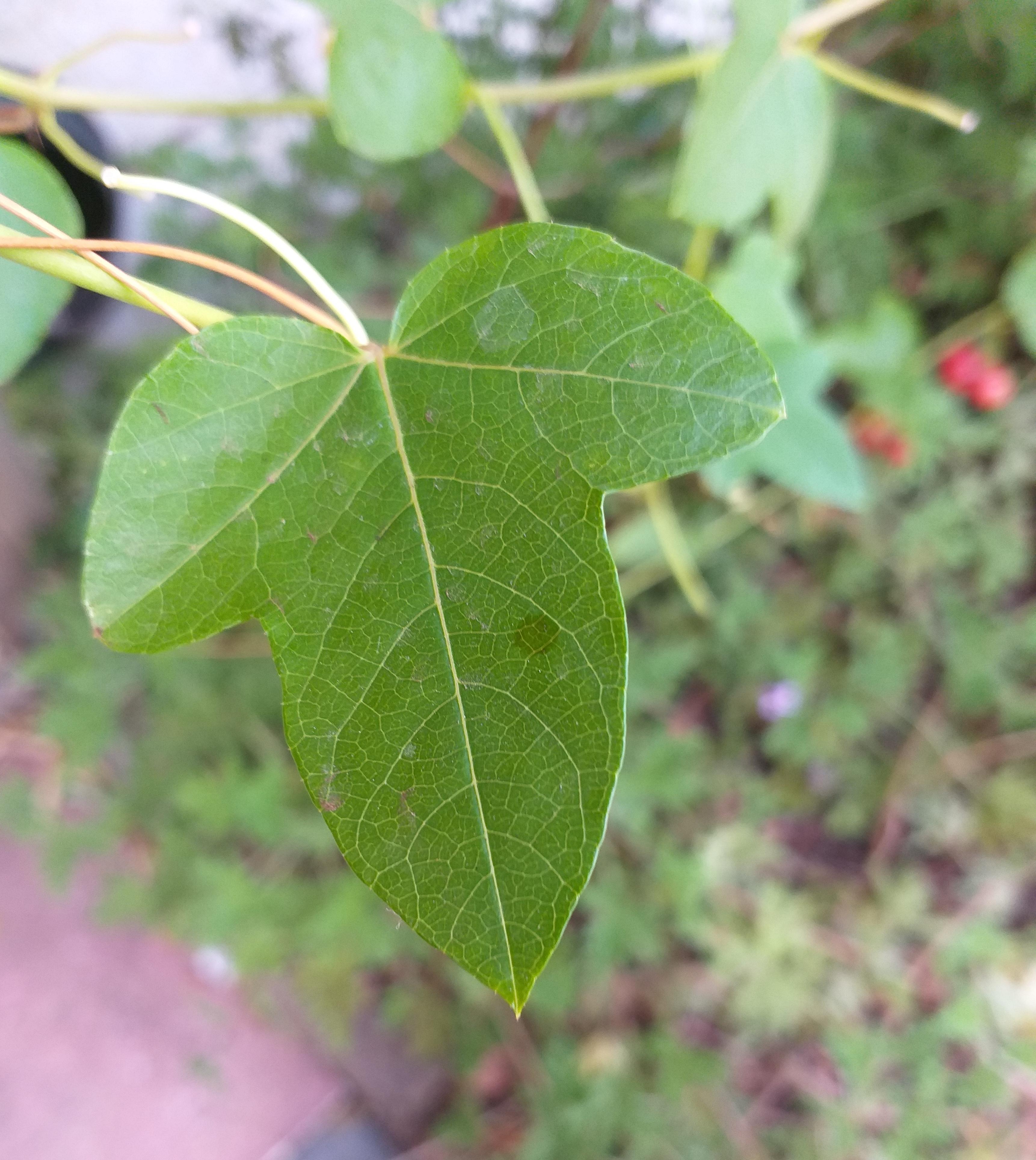 Passiflora ciliata leaf