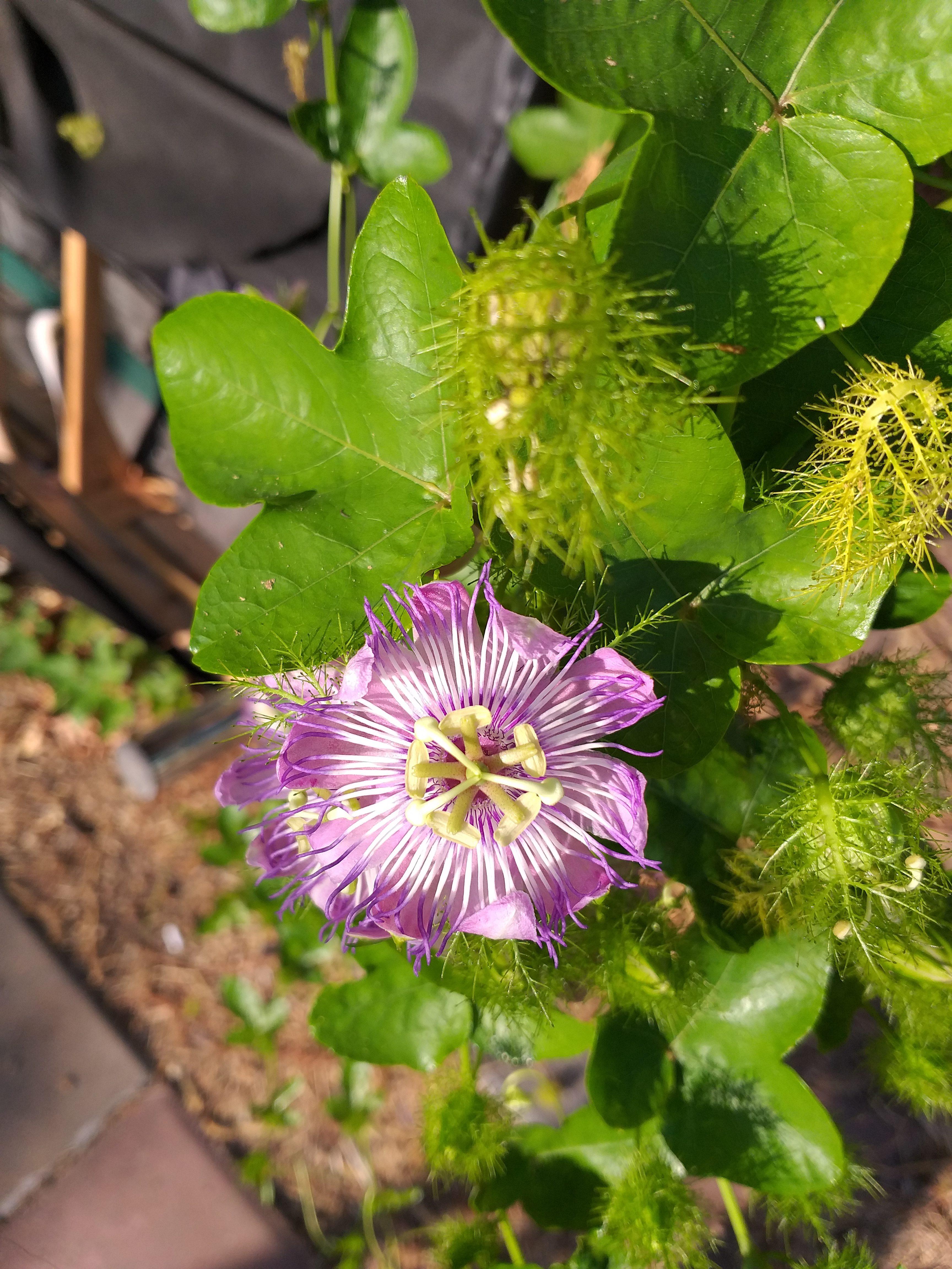 Passiflora ciliata flower