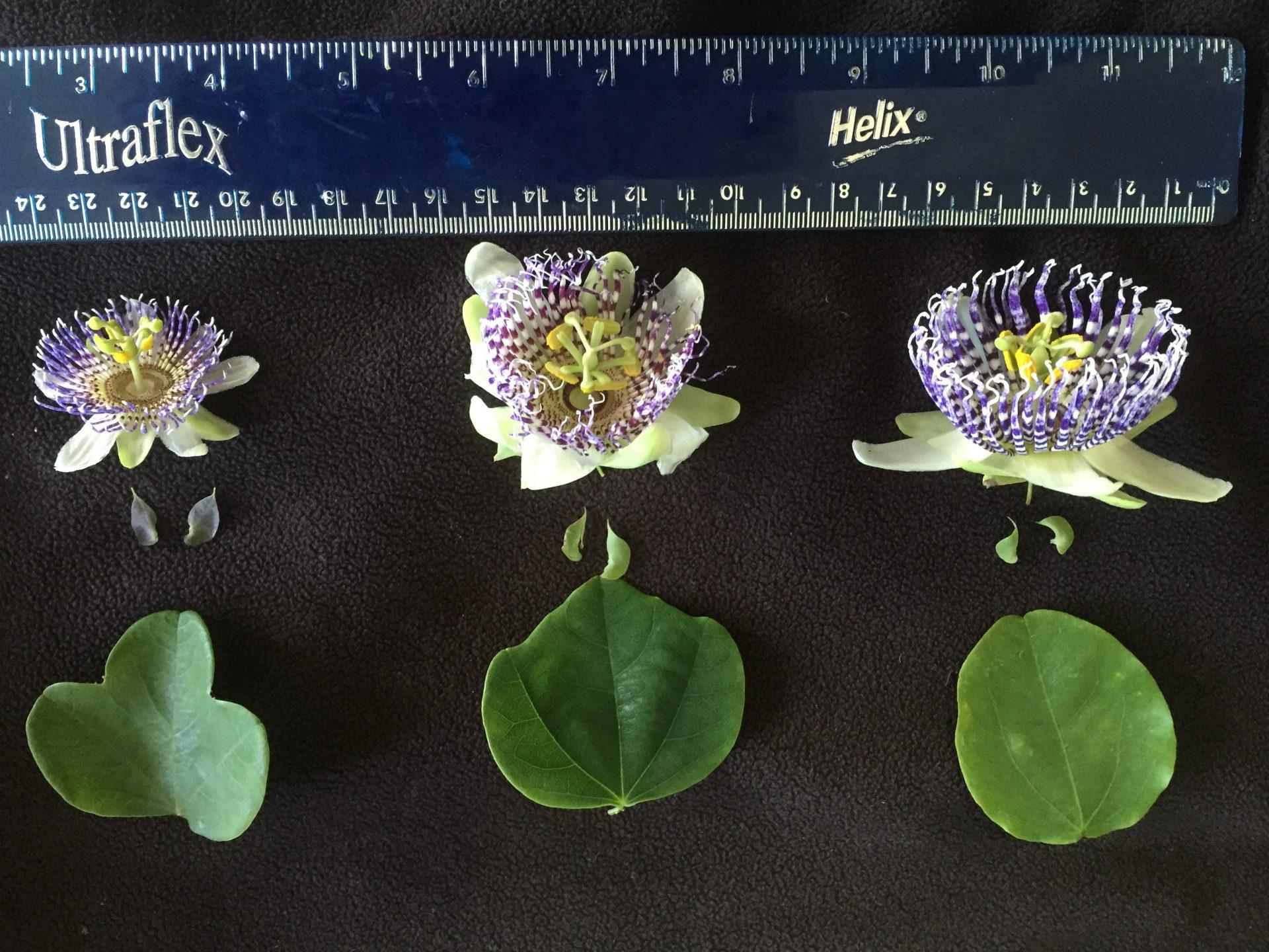 Passiflora sidifolia comparison