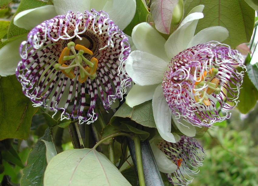 Passiflora sidifolia flowers