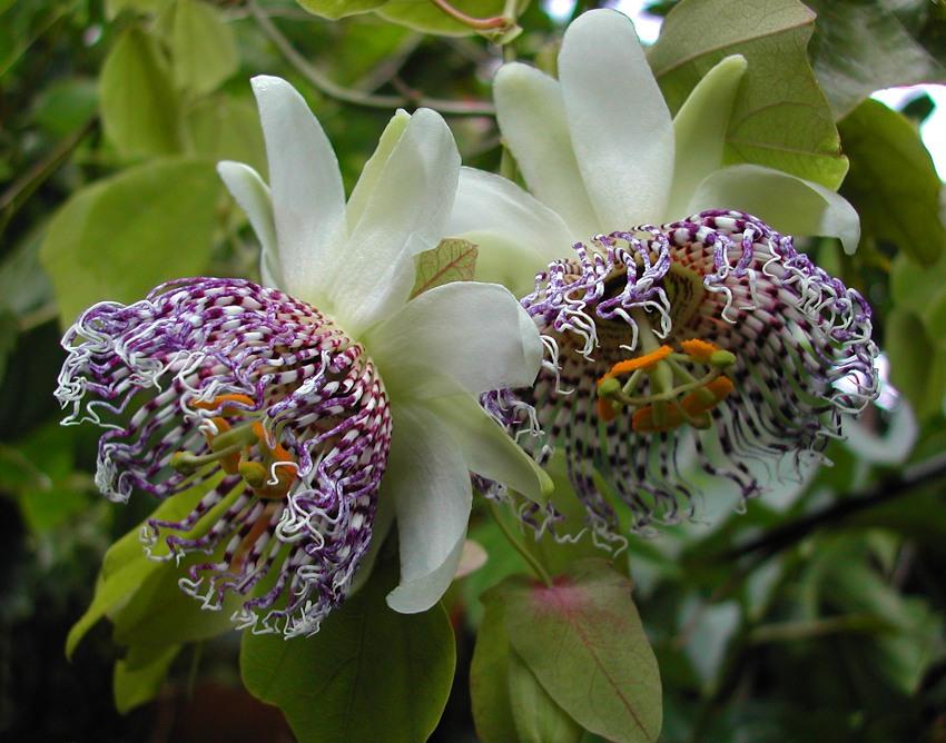 Passiflora sidifolia