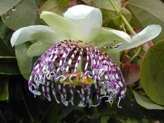 Passiflora sidifolia flower