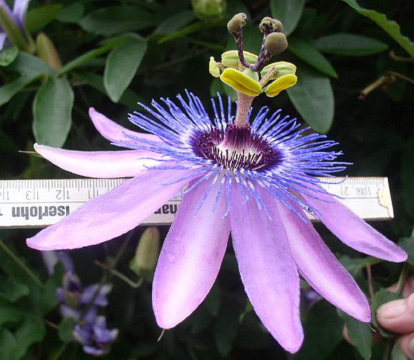 passion flower passiflora new amethyst