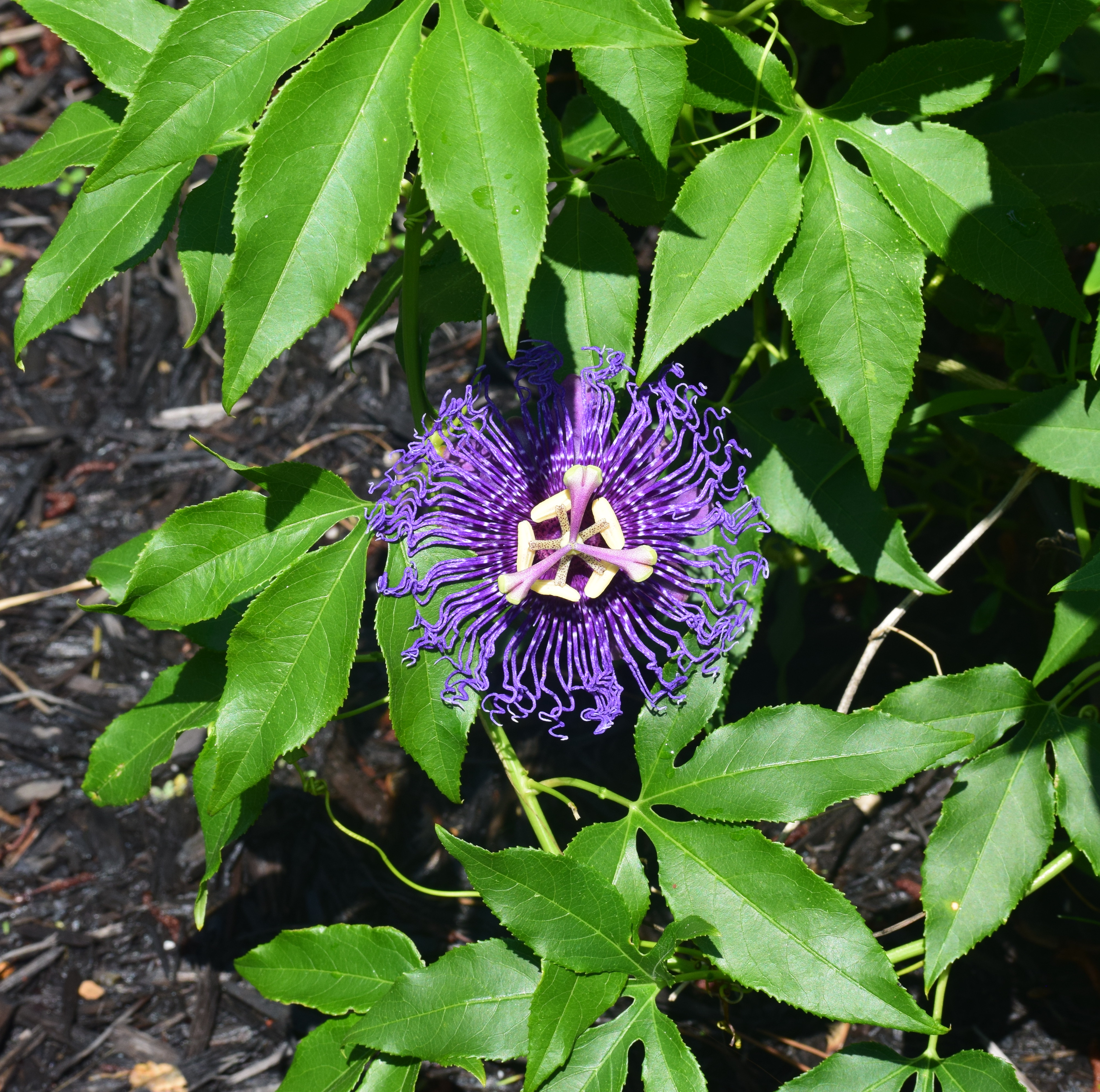 Passiflora Incense flower