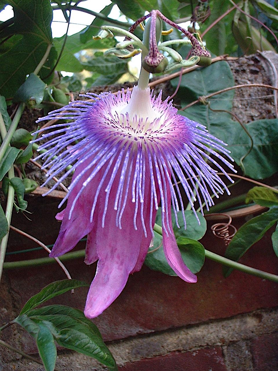 Passiflora Deja Vu